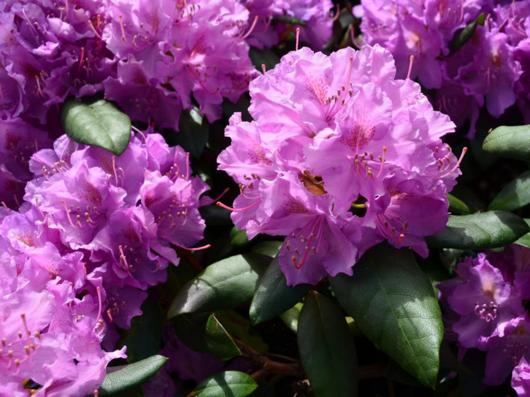 The soft purple blooms add vibrant color to Stone Mountain State Park.