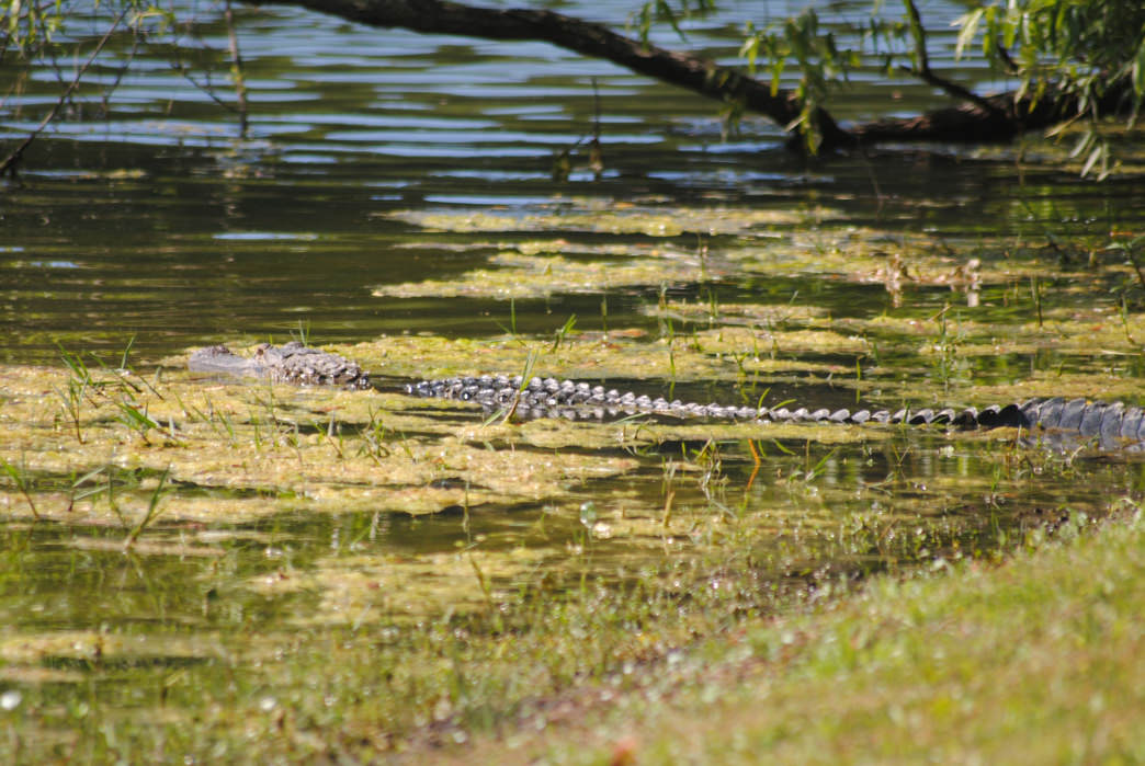 The Sea Pines Nature Preserve teems with amazing wildlife.     Rob Glover