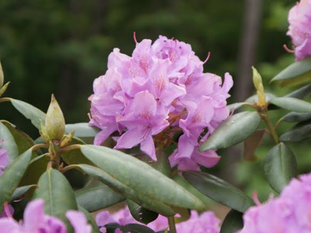 Rhododendron in bloom in Chimney Rock State Park.