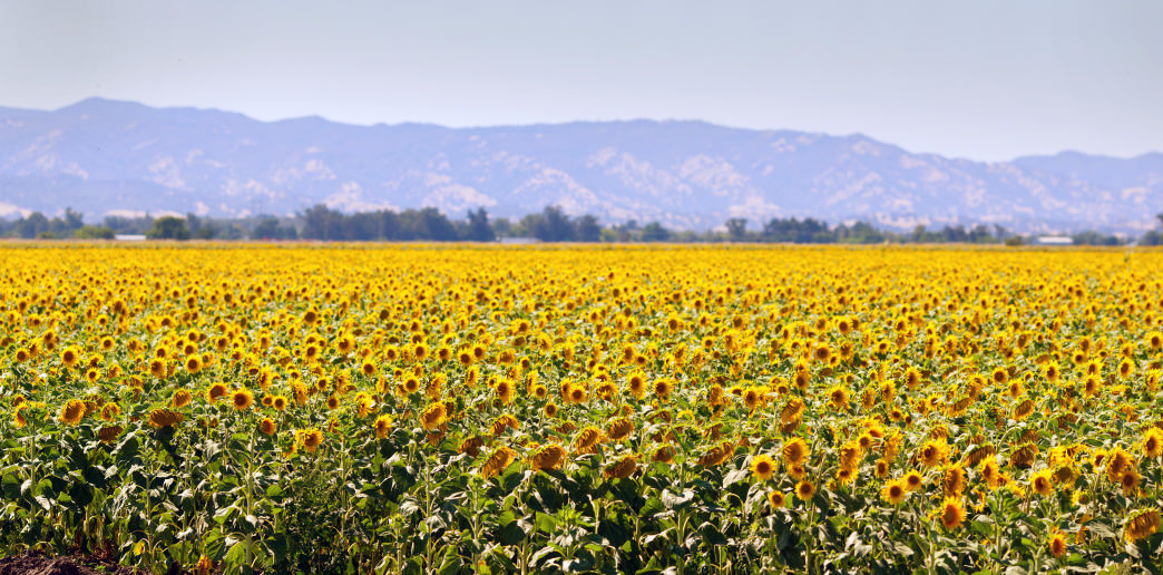Roadside sunflower bloom in Solano County.
