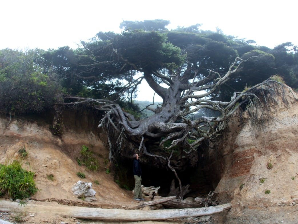 Root Tree near Kalaloch Beach campsite in Olympic National Park.