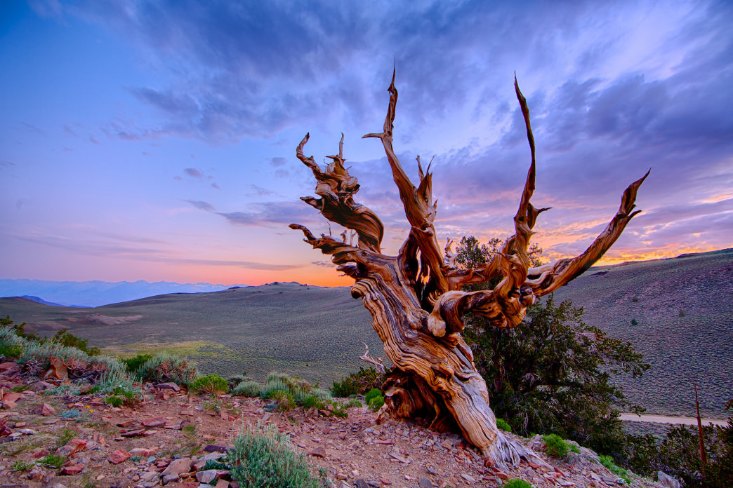 The Ancient Bristlecone Pine Forest is a must-see, especially at sunset.