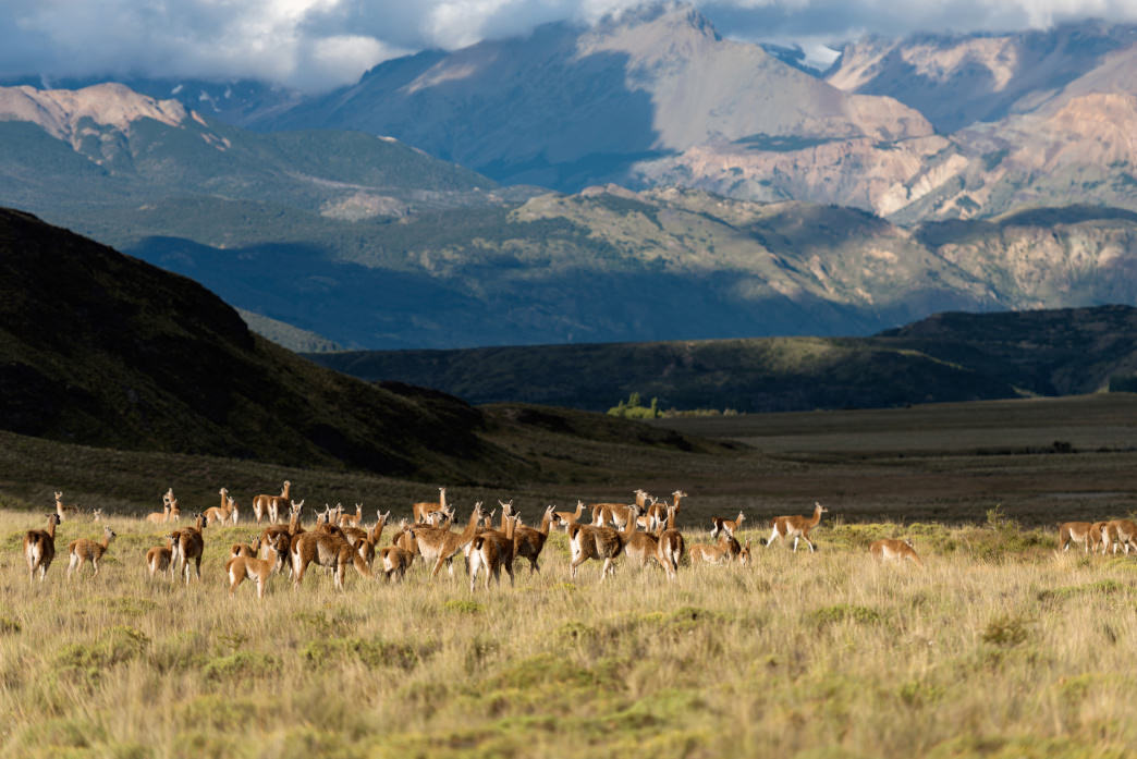 Grazing Guanacos—an iconic (and lovable) site in Patagonia.
