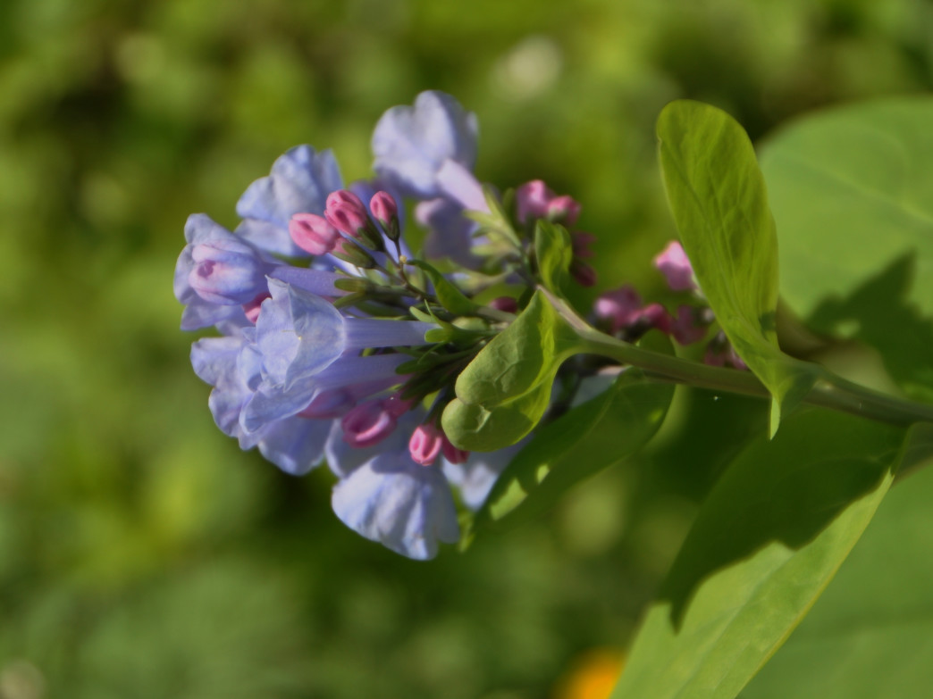 Virginia bluebells add a cheerful pop of color to your hike.