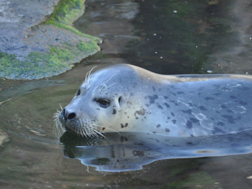 One of the seals that have been rehabilitated at the Alaska SeaLife Center.