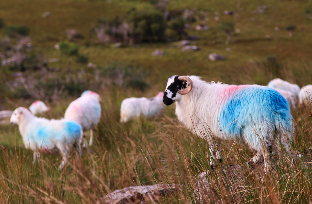 Sheep—the most common sight along the Kerry Way.