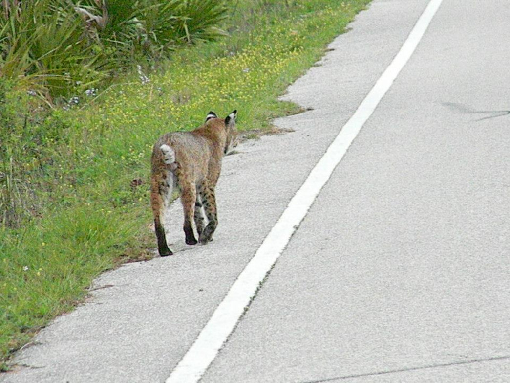 Bobcat strolls down Lighthouse Road.