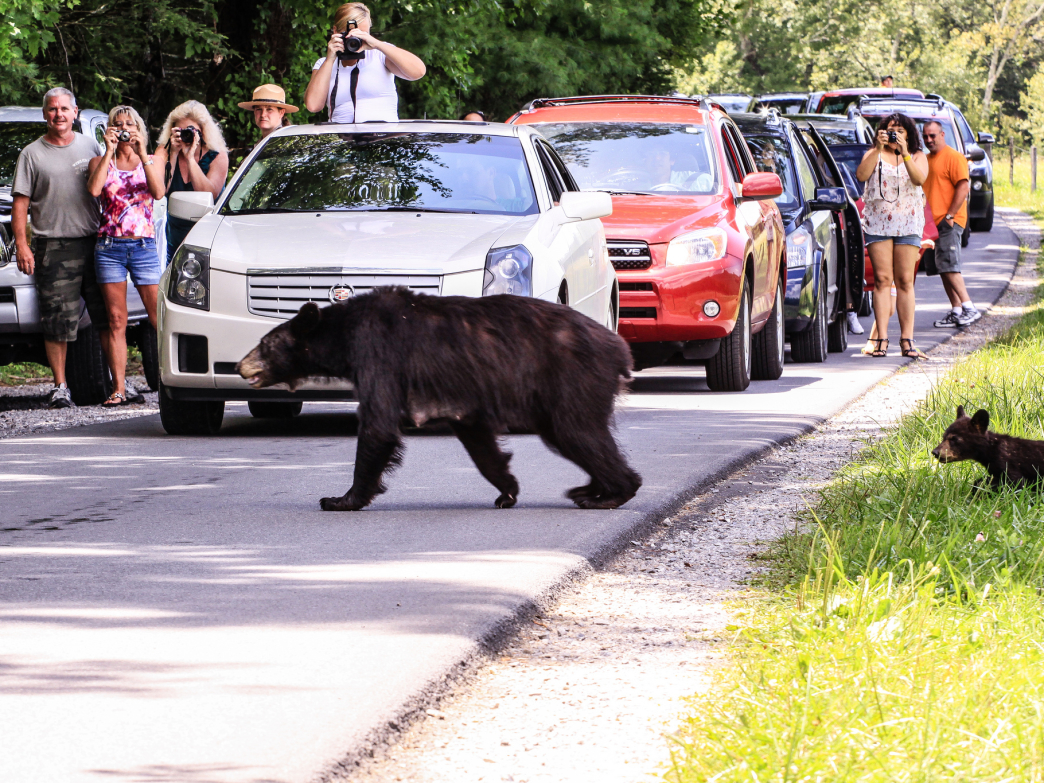 If you ever get caught in a Cades Cove traffic jam, this is probably why.