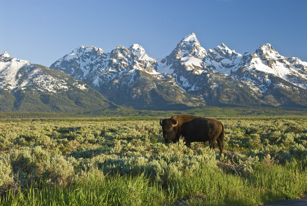 Bison in Wyoming's Grand Tetons National Park.