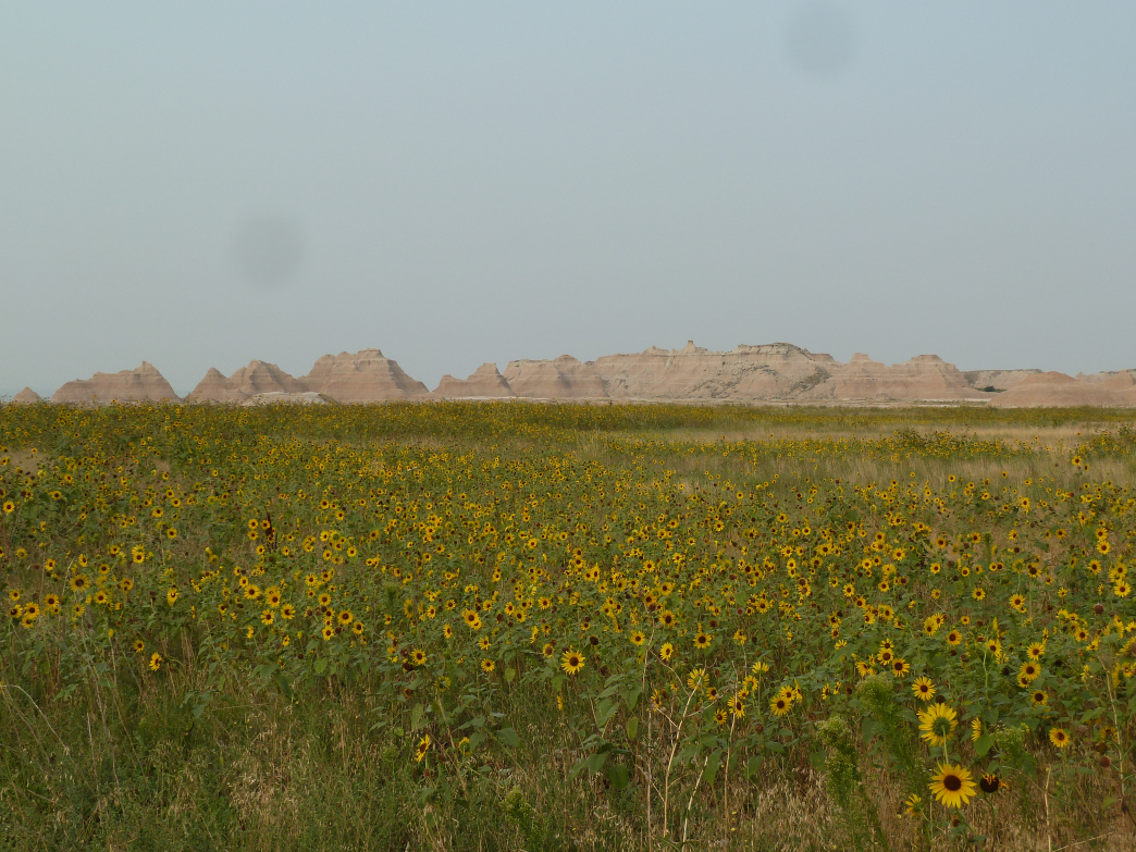 Huge fields of sunflowers carpet the prairie floor near the Castle Trail at Badlands National Park.