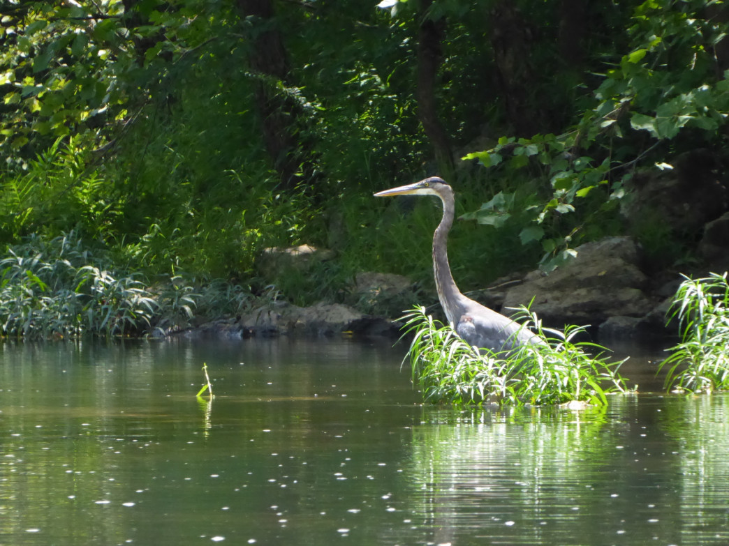 Great blue herons are frequently seen in Cypress Creek.