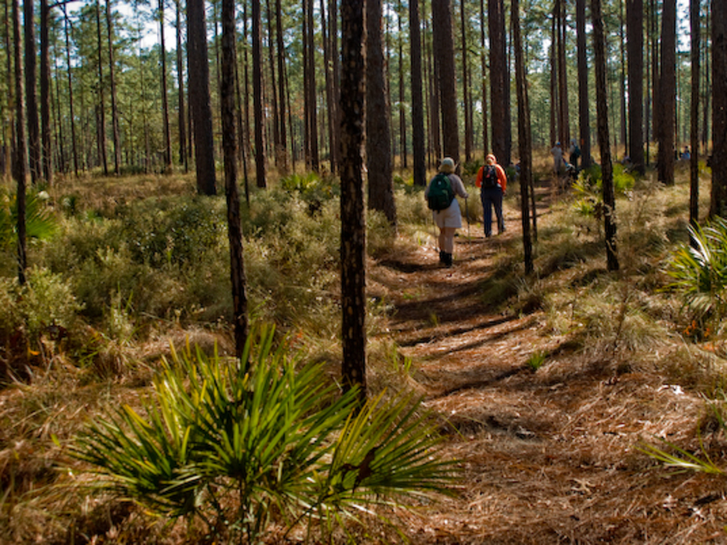 Pine forests tend to have vegetation close to the ground and pine boughs up high. Sticking to the trail is the best way to enjoy the view and avoid sharp-edged leaves