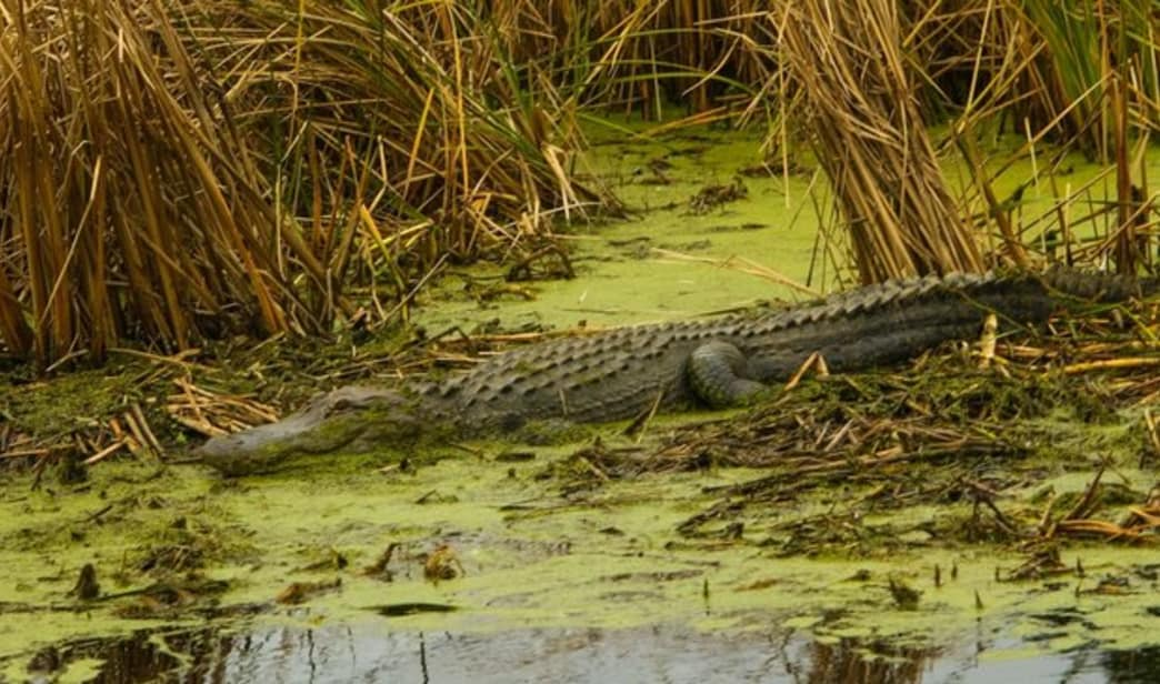 An alligator rests in a rice field turned marsh