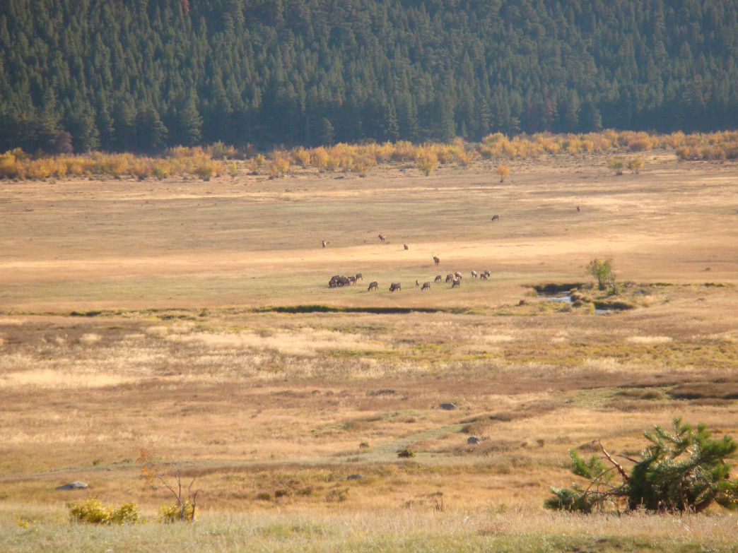 In the fall, elk gather in the large meadows of Rocky Mountain National Park.
