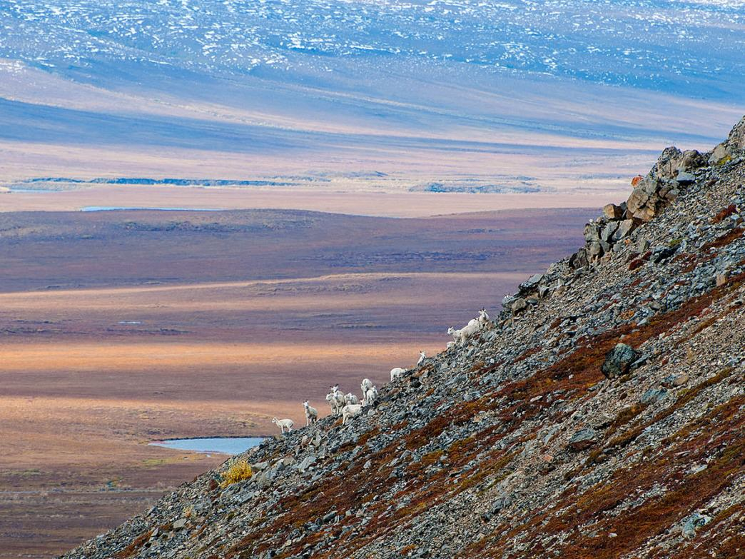 Dall's sheep on a hillside.