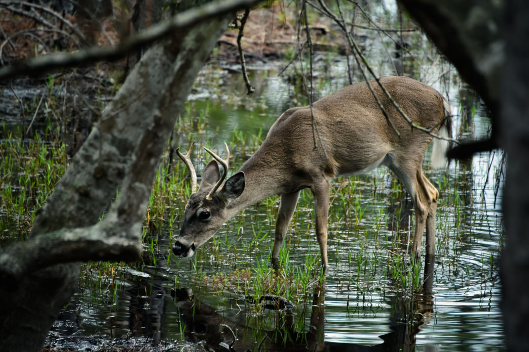 Keep quiet and you may be able to get close to a whitetail deer.