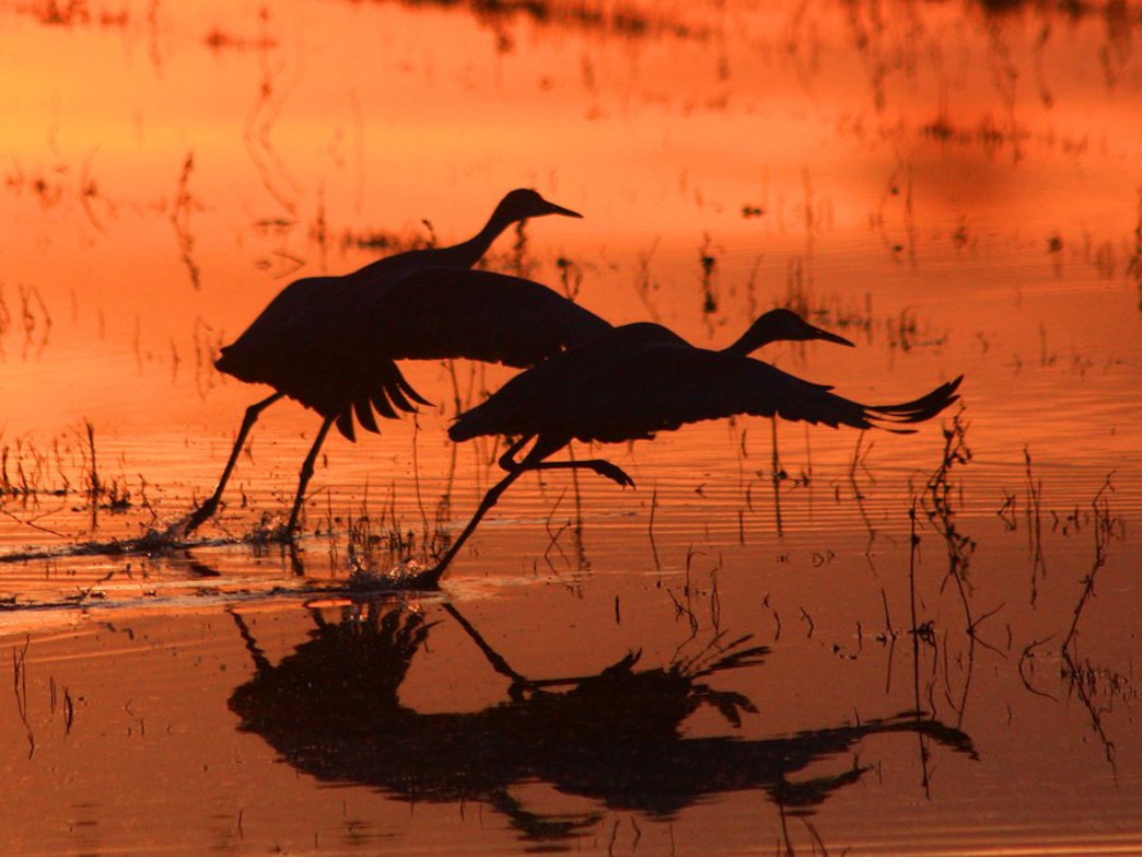 A Festival Of Cranes Bay Nature >> Sandhill Crane Viewing At The Hiwassee Wildlife Refuge