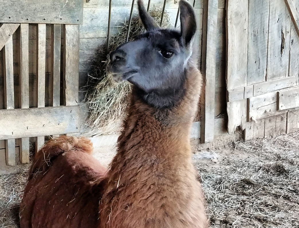 The Posey Thisisit Llama Farm in Toms Brook ia a 27-acre farm is home to nearly 30 llamas.