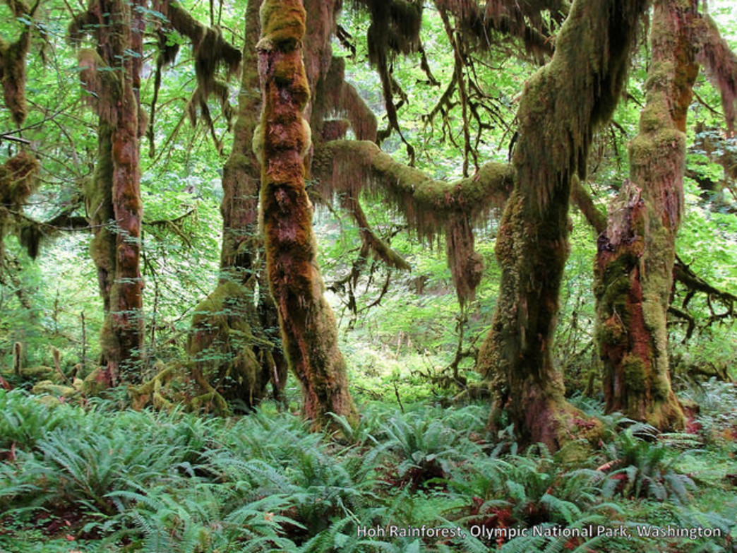In the Hoh Rainforest, it's easy being green.