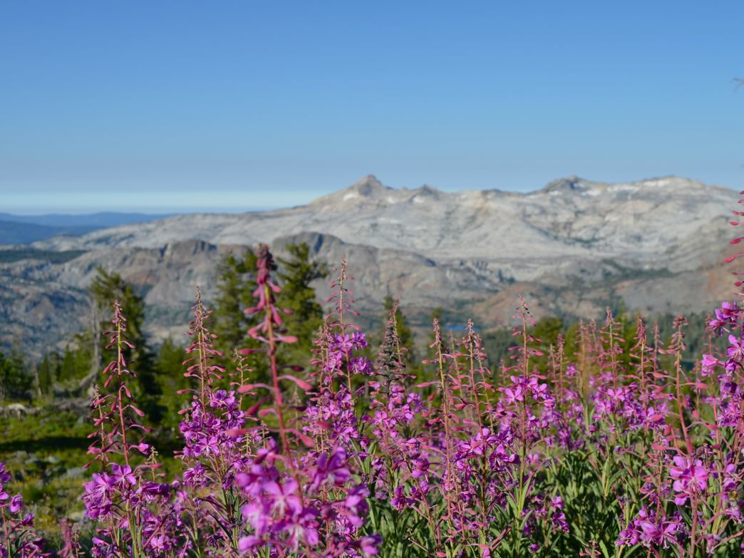 Wildflowers like Fireweed bloom along the Mt. Tallac trail near Lake Tahoe.