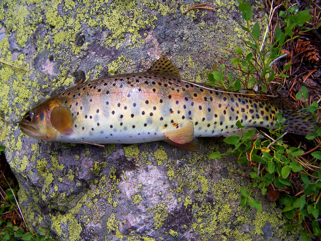 Maybe you'll get lucky and catch a cutthroat trout in the Weber River!