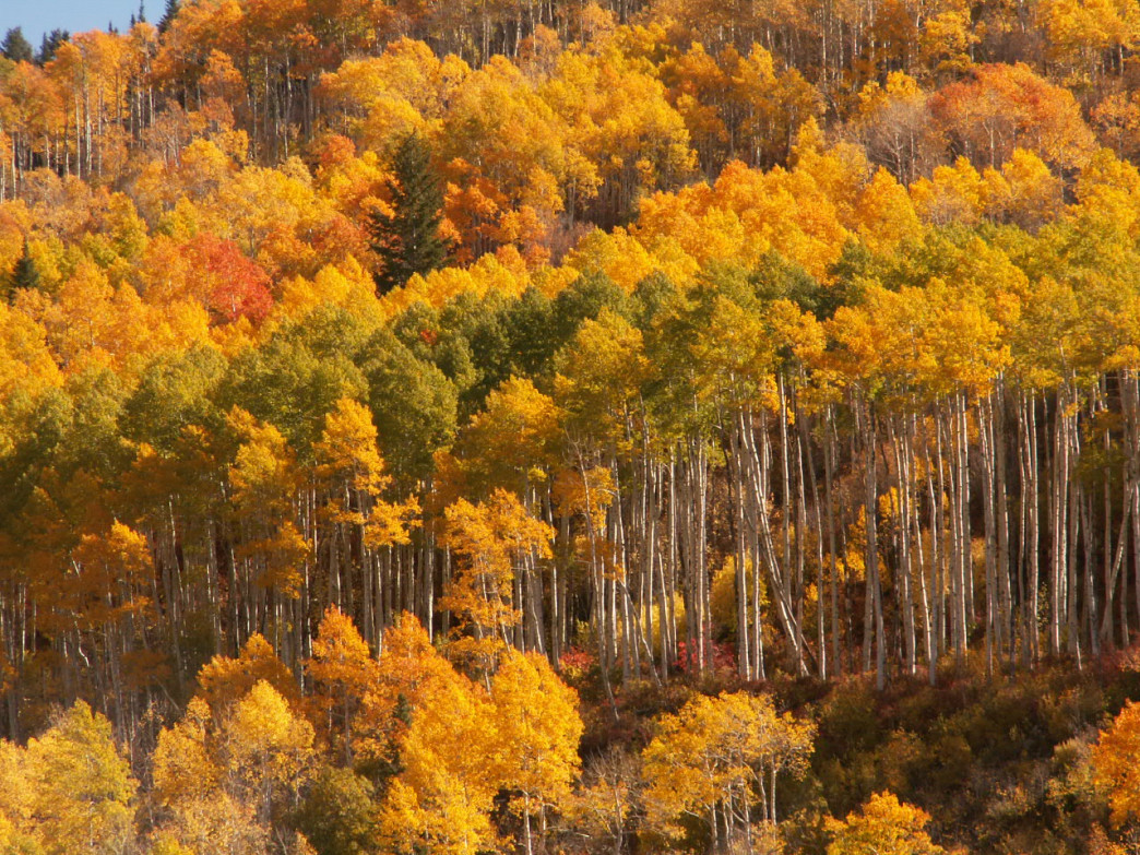 Each fall, the Wasatch is carpeted with a golden rainbow.
