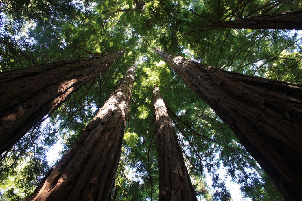 Wake up to towering redwoods at Butano State Park.