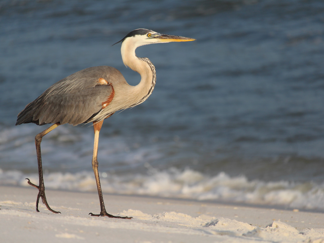 Blue Heron at Fort Pickens, Gulf Island National Seashore.