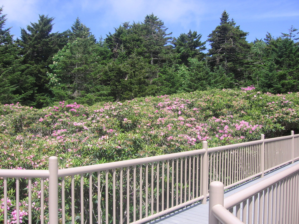 Although they appear well cultivated, the rhododendron gardens at Roan are wild.