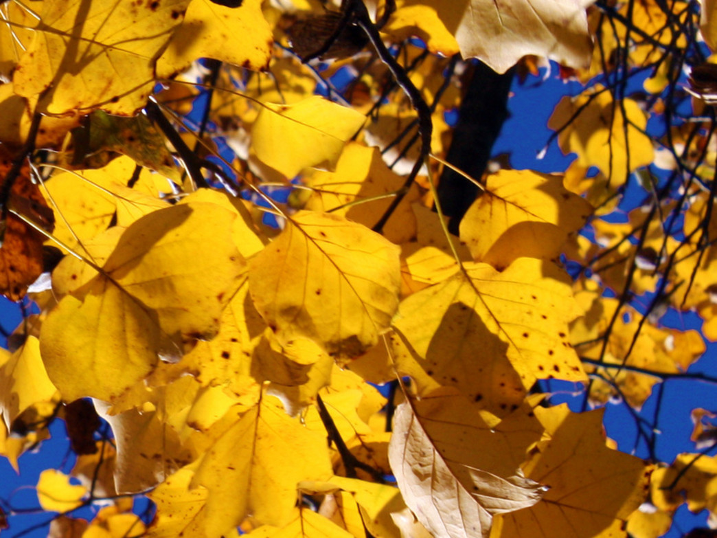 True to its name, the brilliant gold tones of the yellow poplar stand out in the fall.