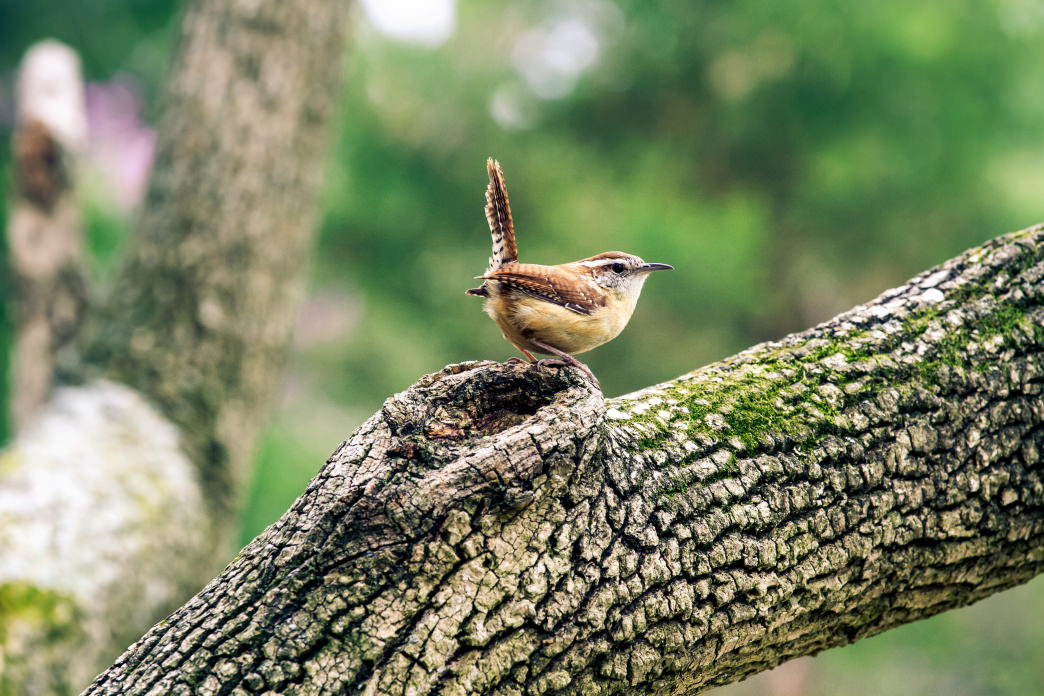 A Carolina wren on the move.