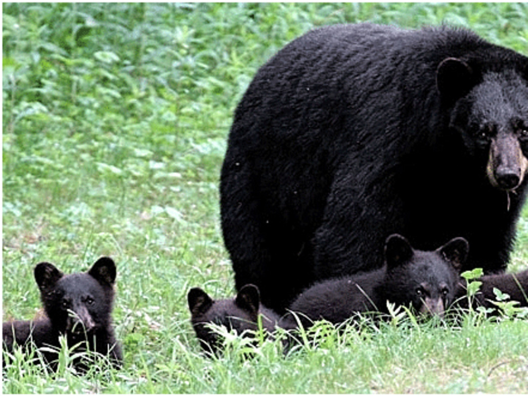 Between a mama bear and her cubs is not a place you want to be.