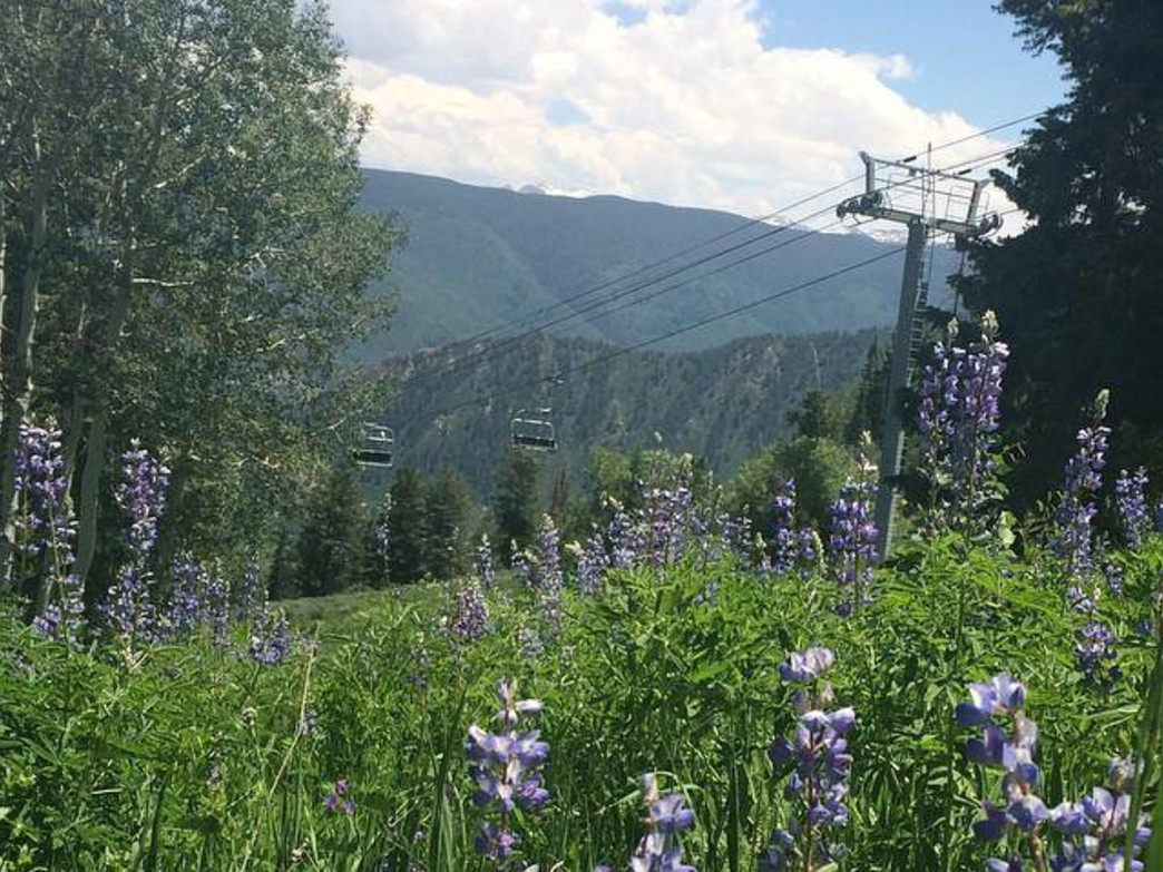 Purple Lupines cover Buttermilk's ski runs in the summer months.