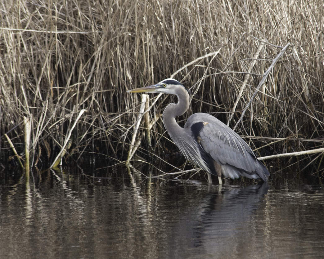 The great blue heron is just one of the birds you'll be able to see on the Alabama Gulf Coast.