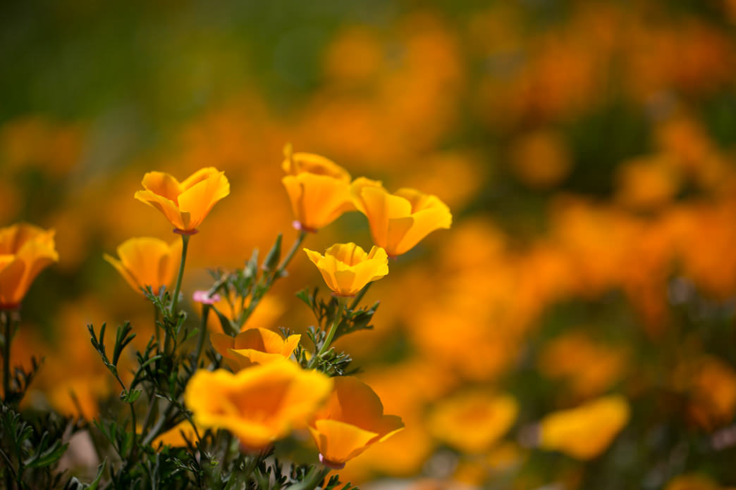 Up close and personal with some of Chino Hills State Park's beautiful blooms.