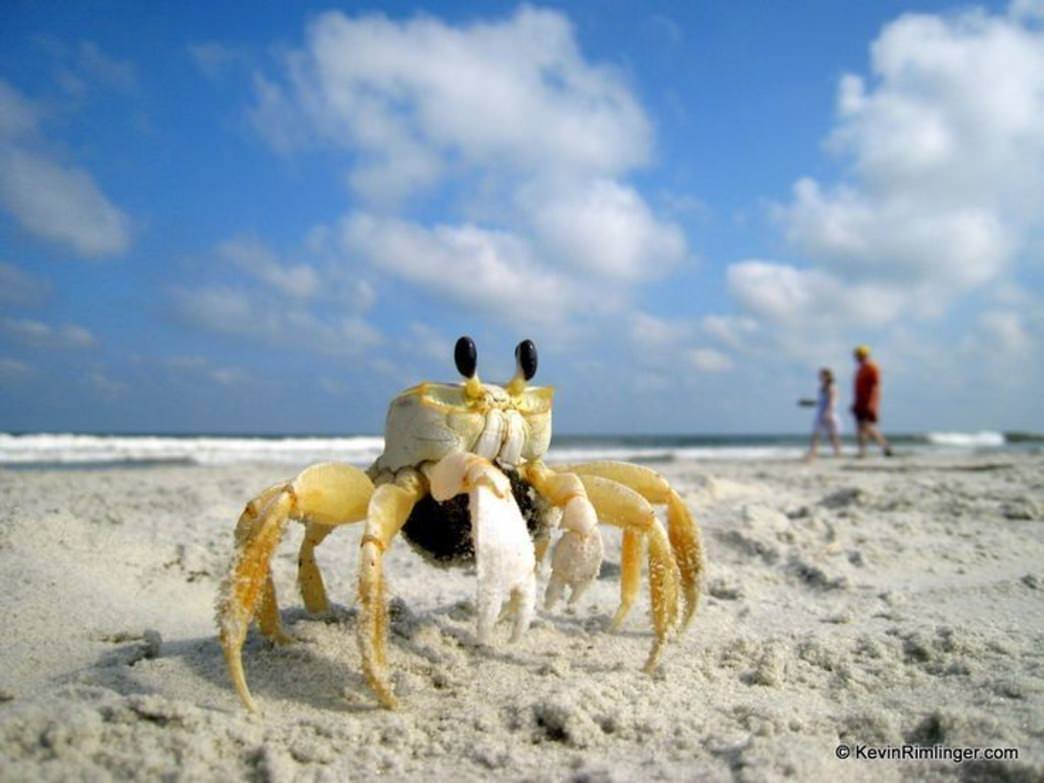 A ghost crab patrols the beach