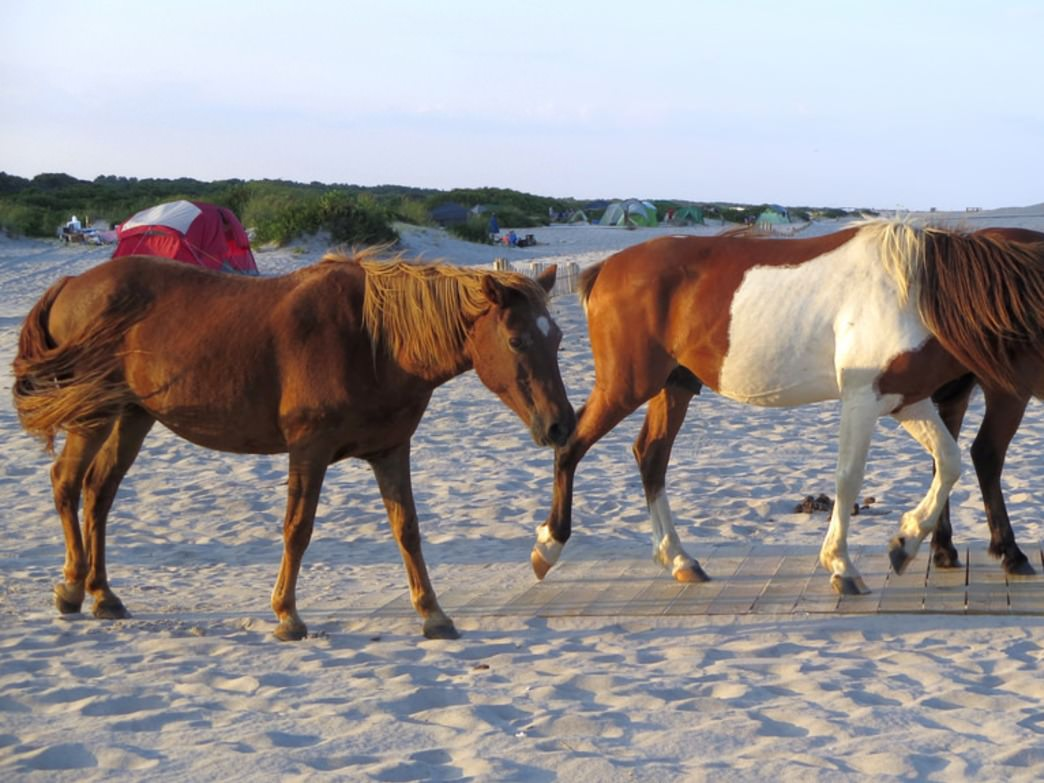 A few wild horses traipse through camp on Assateague Island