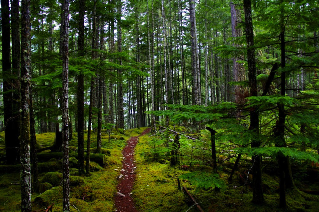 A trail winding through Olympics wet and magical Elwha Forest