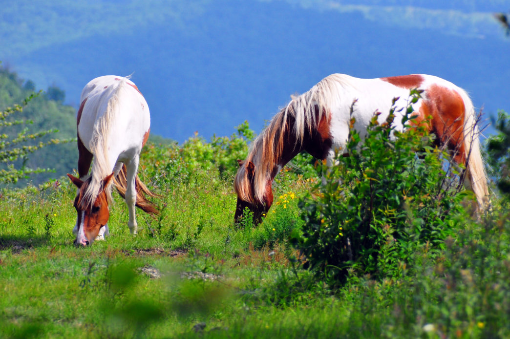 The wild ponies in Grayson Highlands State Park have become one of the Southwest Virginia's  must-see attractions.