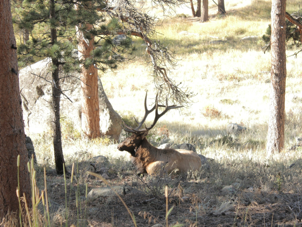 It's easy to get a good look at elk during the rut.