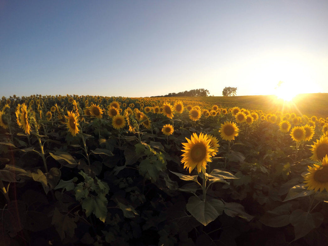 A gorgeous sunset shot of a field of sunflowers in the late summer at Grinter's Sunflower Farm.