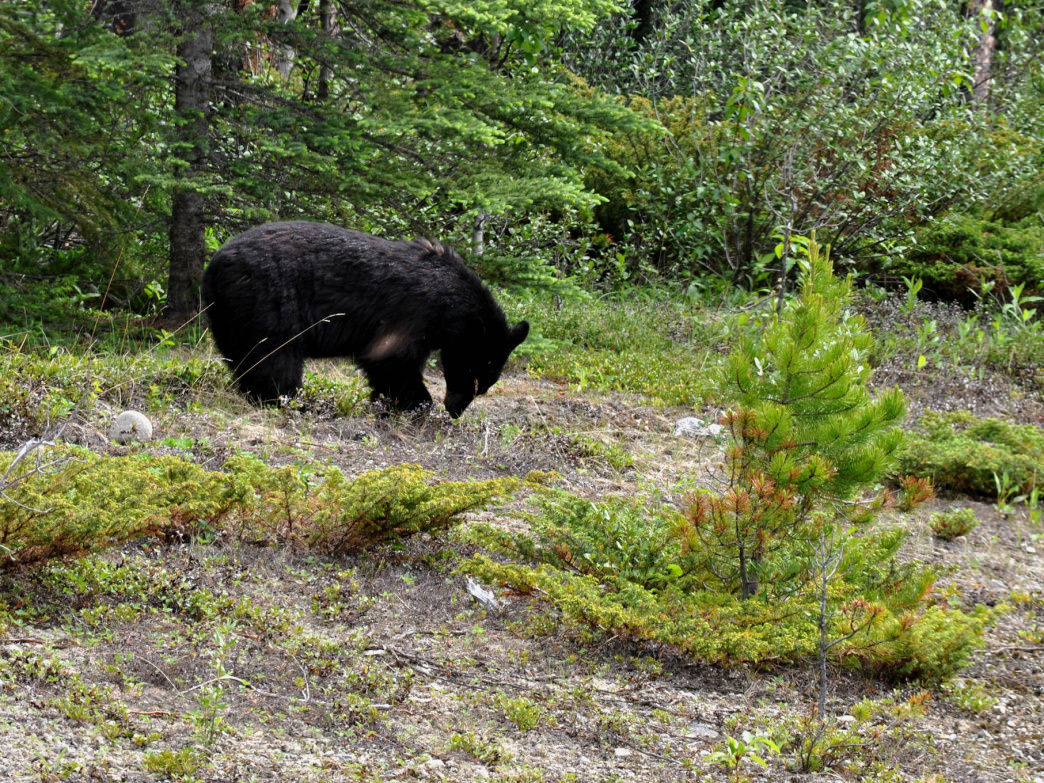 Not the infamous Yellow Yellow herself, but a black bear of similar size and stature.