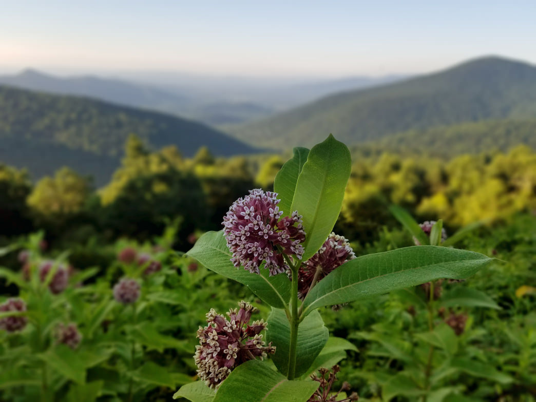 The rolling green hills of the Appalachian Mountains provide the perfect backdrop for the area's wide variety of flora.     Rob Glover