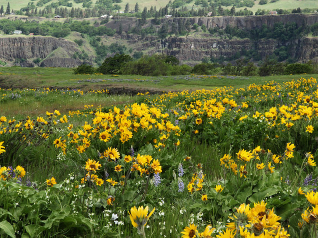 Tom McCall Preserve is home to more than 200 species of wildflower.