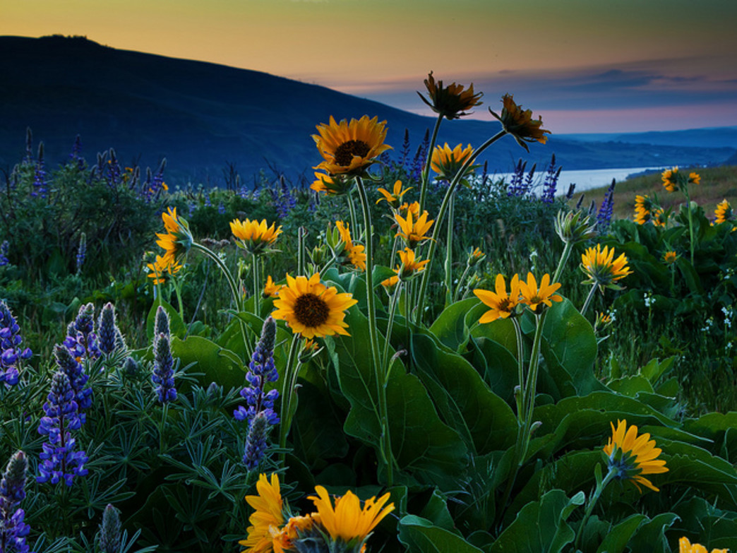 The Columbia Gorge Marathon turns around at the Rowena Crest Viewpoint, which hosts beautiful wildflowers every spring, summer, and fall.