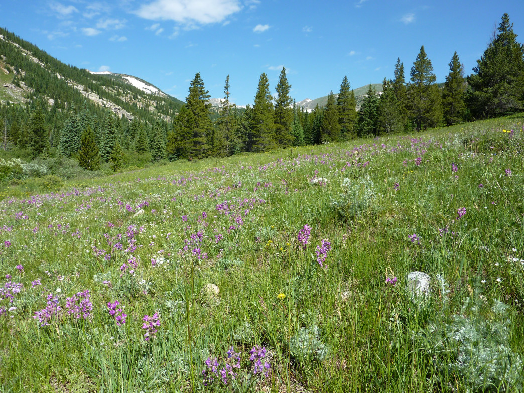 Devils Thumb Bypass Trail in Indian Peaks Wilderness passes through meadows ablaze with blooms.