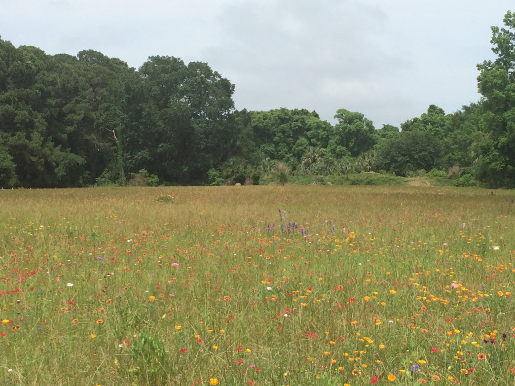 Wild flower field in Sea Pines Forest Preserve- Zach Bjur