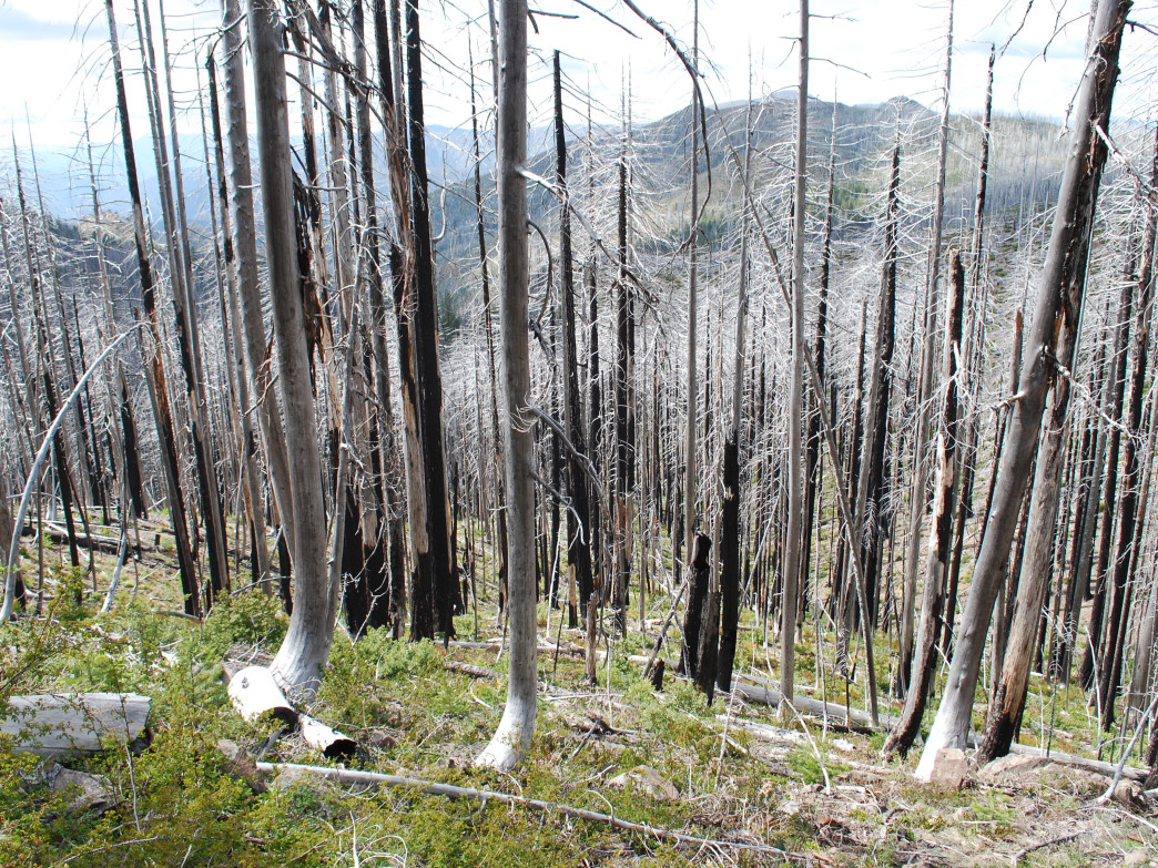 Snags of the Biscuit Fire in the eastern Kalmiopsis.