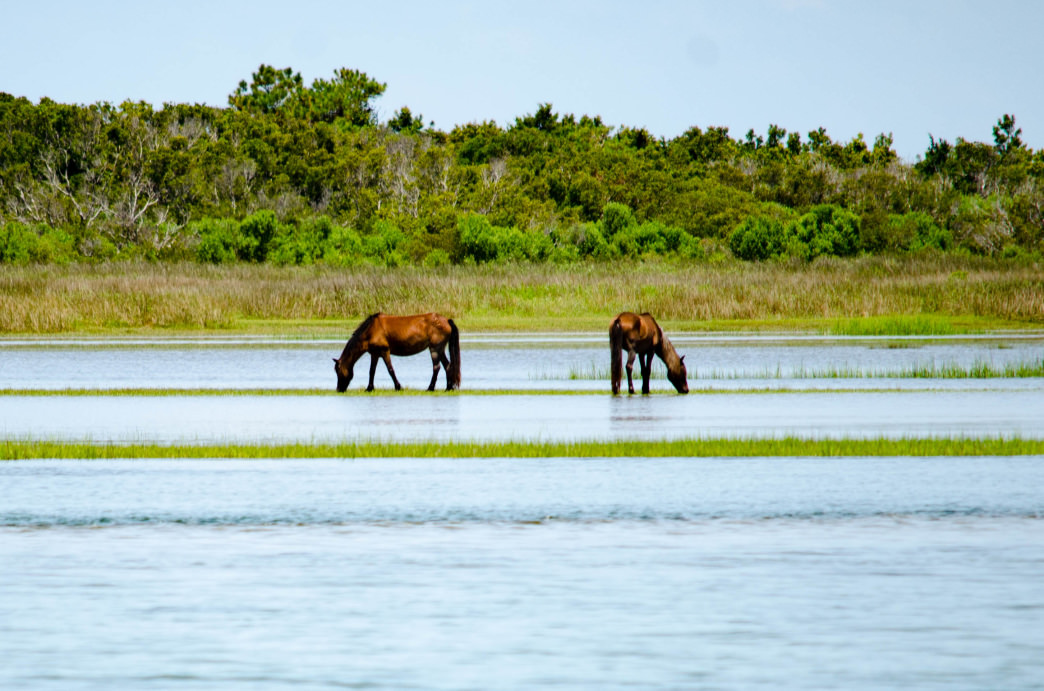 Wild horses roaming Cape Lookout National Seashore.