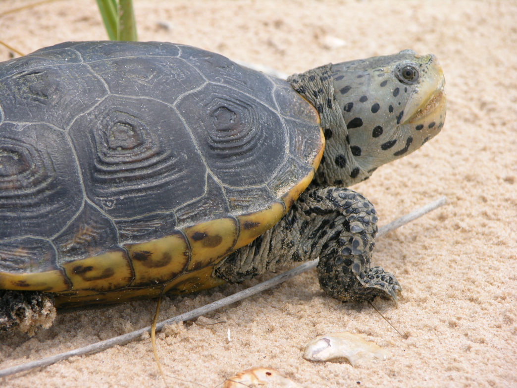 Keep an eye out for turtles, like this diamondback, along Mississippi's southern coast.